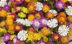 Delosperma Wheels of Wonder