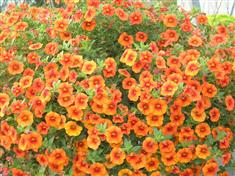 Calibrachoa grandes cloches 'Cherry Star'